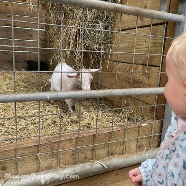 watching the baby goat